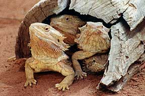 Alice Springs Reptile Centre - Accommodation Port Hedland